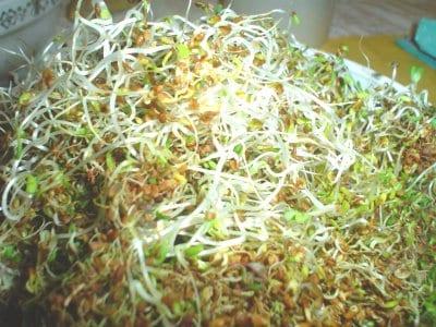 germinado-de-alfalfa