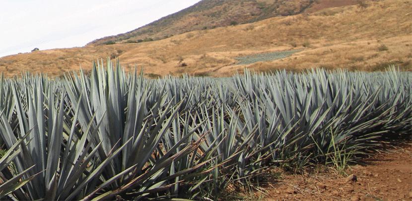 miel-de-agave