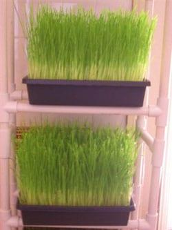 trigo-germinado