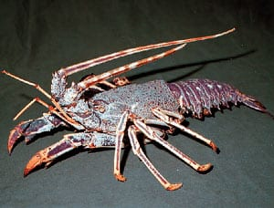crustaceo