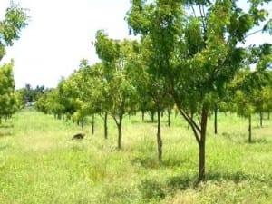 arbol-neem