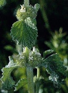 marrubio-blanco