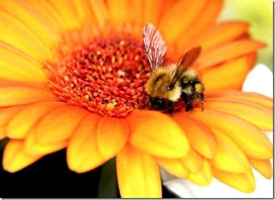 como tomar el polen de abeja para adelgazar