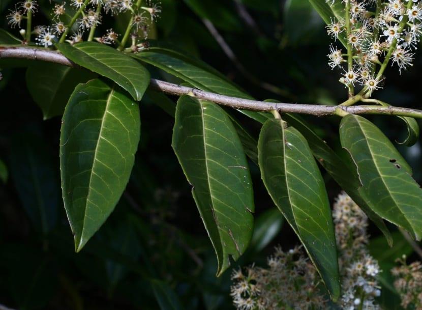 Planta del laurel