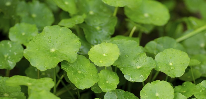 Beneficios-de-la-centella-asiatica