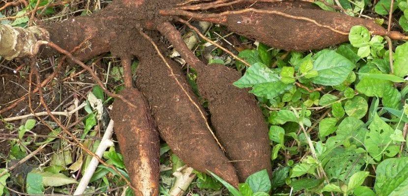 raíz de yuca y yuca