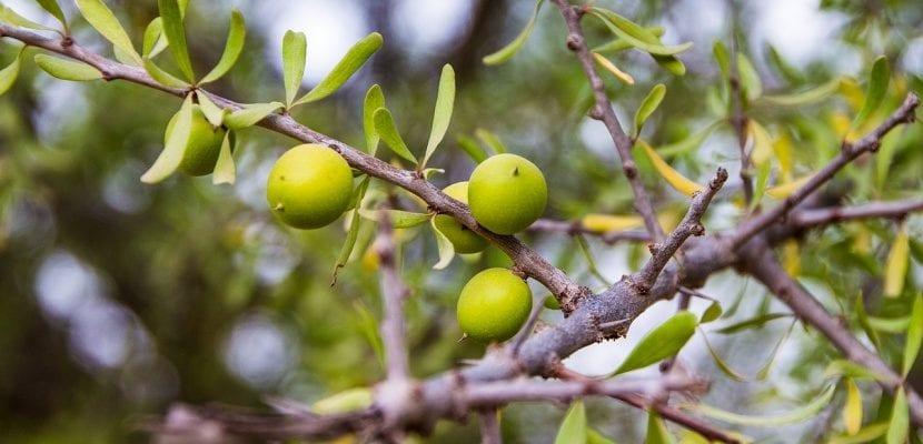 argán verde
