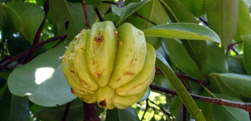 garcinia cambogia natural