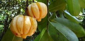 garcinia cambogia fruto