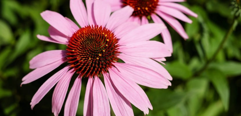 equinácea flor