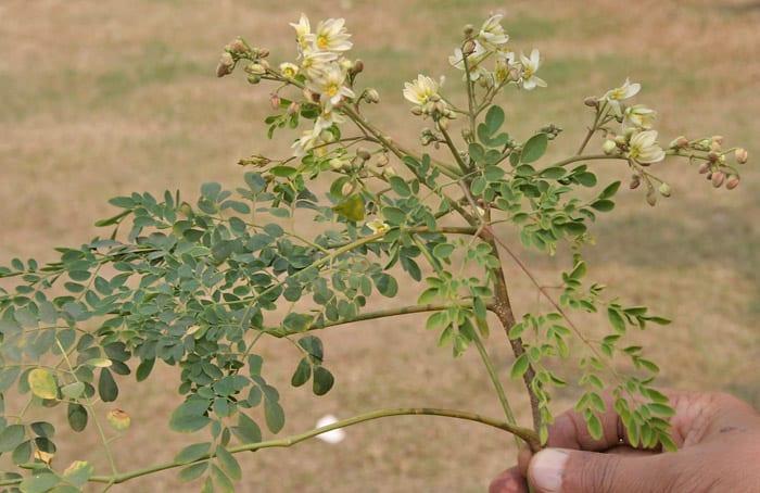 Flores de moringa